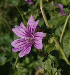 Foraging for edible plants and weeds to eat - Mallow