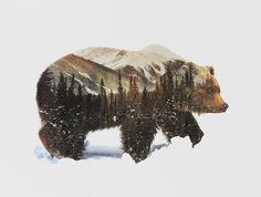 Double exposure Grizzly Bear