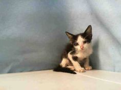 Miami Dade Animal Services, Miami, FL MARTHA (A1711506) I am a female black and white Domestic Shorthair.  The shelter staff think I am about 4 weeks old and I weigh 1 pounds.  I was found as a stray and I am available for adoption.