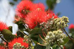New Zealand Christmas Tree - I planted one!