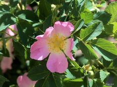 Heckenrosenblüte