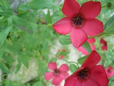 Scarlet flax - An interesting plant for the garden with a rich history, not to mention its vibrant red color, the scarlet flax wildflower is a great addition. Read this article for more scarlet flax information.