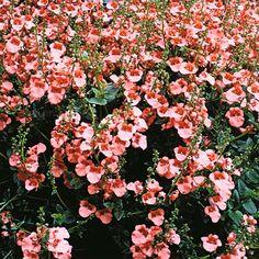 Diascia barberae 'Apricot Queen' - Hardy Annual Seeds - Thompson & Morgan