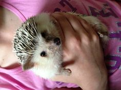 Time to clip those toenails! #hedgehog #africanpygmy