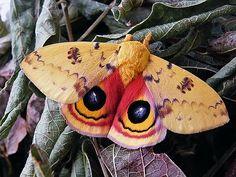 Male IO moth.