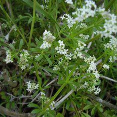 Cleavers Seeds Galium aparine 20 Natural Medicinal Herb | Etsy
