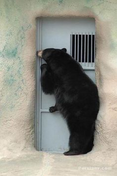 some bear attacks begin with a polite knock on the door