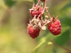 Crumbly Berries: Information And Reasons For Raspberries Falling Apart - If you find malformed berries on your canes that have only a couple of drupes and fall apart at a touch, you have crumbly berries. What is crumbly berry? Read the following article to find out.