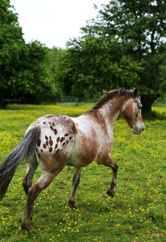 """Lots of Spots - Jennifer MacNeill Photography   Roach the mane and this horse would look like Hot Diggity Doo """"Digger"""""""