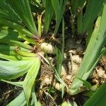 Info on how to divide and relocate iris in the summer