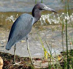 Great Blue Heron - Big Bend for Birders © Russ C, http://www.flickr.com/photos/9793478@N06/3308974157/