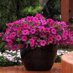 Good old purple wave petunias bring lots of easy care colour to yard and patio