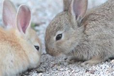 Nuzzling Bunnies (click on gif)