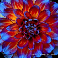 Icy Embers - Digitally enhanced photograph of a dahlia printed on either canvas or fine art paper Dahlia, Fine Art Paper, Photograph, My Arts, Printed, Canvas, Painting, Photography, Tela