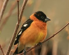 Black-headed grosbeak, have one who comes every spring/summer.  This is such a cool bird!