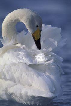 Whooper Swan Preening, Lake Kussharo, Hokkaido Japan - photo by Wolfgang Kaehler via artflakes.com