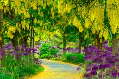 This is a garden with Laburnum Trees in bloom which only appear for about two weeks every year. I made a special trip this year to make sure I was here at the right time..  Thanks for looking and very much appreciated..
