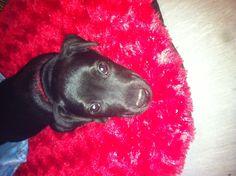 Jett the Patterdale Terrier pup