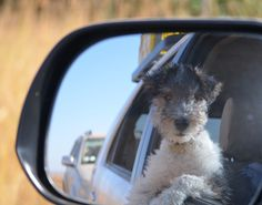 Wire haired fox terrier, Roxy with her head out the window looking for animals