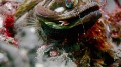 Amazing animals - Sarcastic fringehead 3min clip - Out of all the strange fish I have seen this one is the strangest. It is surprising because it looks relatively normal to start with and then it opens its mouth.