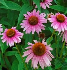 Purple cone flowers: The Favorite Flowers of Bees and Butterflies | http://whatwomenloves.blogspot.com/2014/04/the-favorite-flowers-of-bees-and.html