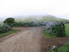 hydrangea hedgerows in the Azores