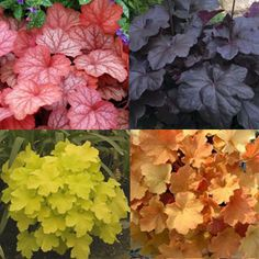 I'm addicted to this stuff: Heuchera...like coleus comes in a vibrant array of colours, only its a perrenial. Try a garden with these and hosta and you have a showcase of colour!