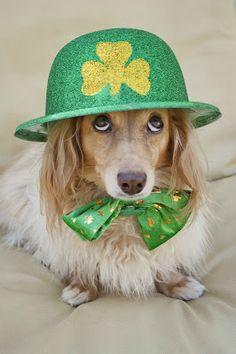 Irish Doxie