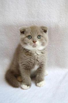 Scottish fold - My future cat!