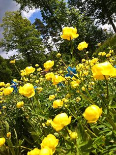 Himalayan poppies with tall yellow Ranunculus Love Flowers, Yellow Flowers, Wild Flowers, Beautiful Flowers, Ranunculus, Peonies, Korn, Favorite Color, The Cure