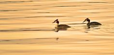 Photo Sunset Podiceps Cristus by Per-Anders Nilsson on 500px