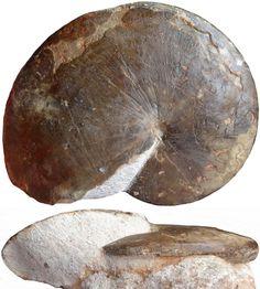 HOPLITOIDES mirabilis - jsdammonites