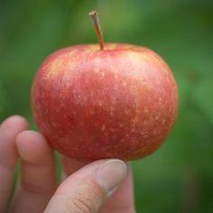 Minnesota 447 - Zone 4 - Super sweet apple tasting like sugarcane -