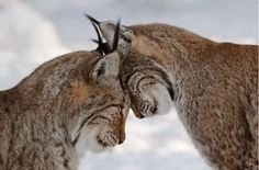 I love this photo! Lynxes are solitary and come together only during a brief estrus.