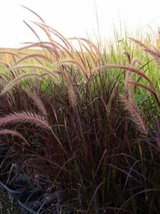 Purple Fountain Grass... Love this stuff planted some to hide phone box in yard.
