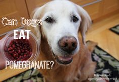 Can Dogs Eat Pomegranate? Can Dogs Eat, Health Problems, Pomegranate, Pet Care, Animal Pictures, Helpful Hints, Advice, Treats, Fish
