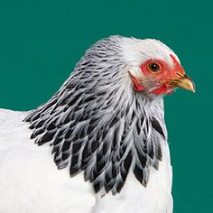 Big and beautiful Brahma hen in stark black and white