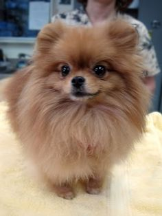 You can't tell from her photo, but Twinkie is one tiny dog. #dogs #pomeranian