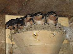 Make your own Barn Swallow house | DIY | Pinterest | Bird ...