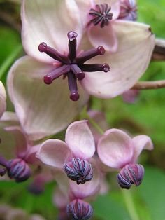 Chocolate vine (Akebia quinata, also known as Five-leaf Akebia) - smells like chocolate, fruit is used in Eastern Asia cuisine and vines are traditionally used to make baskets