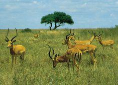 Impalas (Aepyceros melampus) pastam no Parque Nacional de Nairóbi, no Quênia. Impalas são um tipo de antílope com 50 a 60 kg de peso, único membro da subfamília de bovídeos Aepycerotinae. Vive em grandes manadas nas savanas e é especialmente comum no sul da África. Fotografia: James P. Rowan.