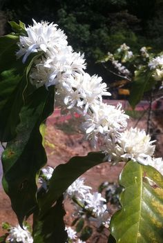 Coffee Flower - Costarica