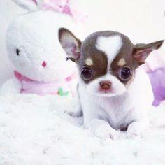 Chihuahua miniatura