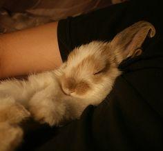 Adorable holland lop bunny sleeping!