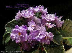 Buckeye Blushing Селекционер: P. Hancock Размер: Крупный стандарт Цветок: полумахровый-махровый лавандовый кружевной, анютка/более темно-лавандовый до пурпурный, фэнтези, изменяющийся фэнтези каемкой. Розетка: пестролистная темно-зеленая, розовая и кремовая, плоская, стеганая, зубчатая.
