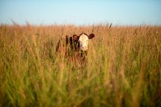 Cows in the Tallgrass by Ree Drummond / The Pioneer Woman, via Flickr