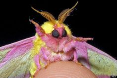 a rosy maple moth--sooooo charming. pinning this to the art board was an error, but I'm keeping it, as this IS art. Wow.