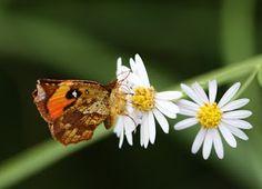 Ikari-monnga (japanese name) /  Dolomedes sulfureus (scientific name)