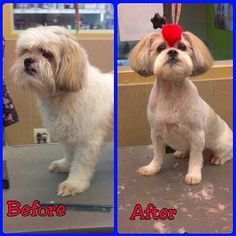 Awesome before/after of Texan, the shihtzu warrior. Amazing work by Alexis. Looks like that creative grooming class at SuperZoo is paying off! #shihtzu #red #mohawk #dirtydogs #delmar #carmelvalley #sandiego