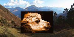 'Anden Alpaka' von Dirk h. Wendt bei artflakes.com als Poster oder Kunstdruck $23.37